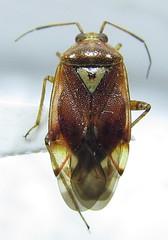 Lygus pratensis (dorsal view) (heteropteran) Tags: plant true turkey bug insect türkiye pratensis hemiptera miridae heteroptera lygus