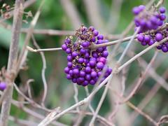 Berry plants in Parc Montsouris (pchurch92) Tags: paris france parcmontsouris