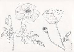 Mitxoletak (Maite Bombín) Tags: sketch amapola mitxoleta