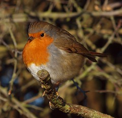 2015_01_0076 (petermit2) Tags: robin erithacusrubecula yorkshire barnsley rotherham southyorkshire rspb oldmoor dearnevalley