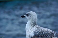 Left side (sacipere) Tags: sea portrait animal seagull rügen möwe gaivota sacipere