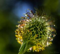 Burr Beginnings (Don White (Burnaby) Thanks for the Three Million V) Tags: macro bokeh centralpark burr extensiontube flowersplants misted 26mm sigma30mmf28