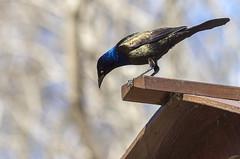 The Wait (Danny VB) Tags: waiting bird spring printemps primavera ef135mmf2lusm canon eos 6d canon6d 135f2 april black eat turn canada