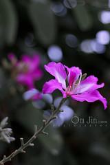 .:: Upturned II (portrait orientation) ::. (omjinphotography) Tags: shadow flower tree nature petals purple blossom bokeh pistil stamen photoart plasticlens 50mmlens singleexposure theruleofthirds canon1100d rebelt3 omjinphotography