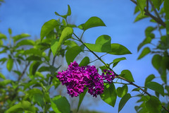 Sweet scent of May... (petrapetruta) Tags: flowers blue sky green spring purple magenta lilac
