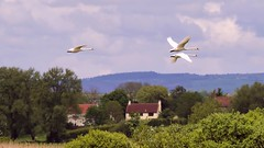 Synchronised Flight - plus 'Tail End Charlie' (Doyleecart Photography) Tags: uk trees summer england sky green nature birds clouds fun europe wildlife flight cottage somerset swans levels synchronised westcountry mendips shapwick doyleecart