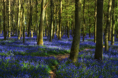 Beautiful Carpet Of Bluebells (paulinuk99999 - just no time :() Tags: flowers blue trees england bluebells forest carpet spring flora wildlife explore ash ashridge ivinghoe 2016 paulinuk99999 sal1650f28