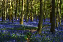 Beautiful Carpet Of Bluebells (paulinuk99999 (lback to photography at last!)) Tags: flowers blue trees england bluebells forest carpet spring flora wildlife explore ash ashridge ivinghoe 2016 paulinuk99999 sal1650f28