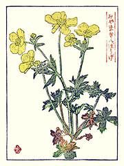 Meadow buttercup (Japanese Flower and Bird Art) Tags: flower art japan modern print japanese buttercup meadow ranunculus ranunculaceae woodblock kojiro acris funasaki readercollection