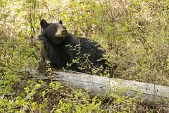 Am I the diva or what (ChicagoBob46) Tags: bear yellowstonenationalpark yellowstone blackbear