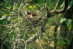 Birds Nest (Lennixx) Tags: tree green bird animal forest sticks bush nest australia wa twigs twiggy yallingup