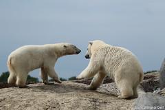 Ijsberen, Wildlands-7633 (Josette Veltman) Tags: zoo arctic ijsbeer icebear emmen dierentuin icebears noordpool roofdier wildlands ijsberen
