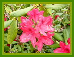 colour on a rainy day (hatschiputh) Tags: park flower spring wiesbaden hessen blossom rhododendron kurpark