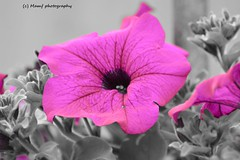 Perfect pretty purple Petunia. (MAMF photography.) Tags: uk greatbritain england blackandwhite bw flower colour monochrome beauty garden photo blackwhite google nikon flickr noir image noiretblanc zwartwit unitedkingdom britain wildlife yorkshire negro gb petunia zwart pretoebranco schwarz biancoenero westyorkshire greatphoto googleimages enblancoynegro zwartenwit greatphotographers mamf inbiancoenero schwarzundweis mamfphotography
