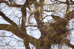 Indische Kuifarend op het nest (Robbert met dubbel B) Tags: park india nature nest wildlife indian safari national april crested 2016 indische changeable nationaal tadoba wildphotography hawkeagle wildfotografie kuifarend