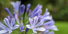 Flores Azules (ruimc77) Tags: flowers blue panorama flores flower primavera up azul mxico mexico spring nikon dof close bokeh pano 28mm flor nikkor f28 ais azuis azules d810