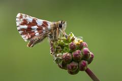 Rote Wrfel-Dickkopffalter (Spialia sertorius)_Q22A3854-BF (Bluesfreak) Tags: insekten schmetterlinge tagfalter spialiasertorius redunderwingskipper rotewrfeldickkopffalter