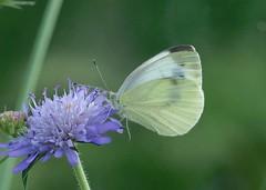 Small White----- Pieris rapae (creaturesnapper) Tags: europe butterflies lepidoptera greece pierisrapae smallwhite pieridae kerkini