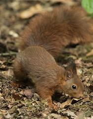 Eekhoorn / Sciurus vulgairs (m.ritmeester) Tags: ngc nederland natuur veluwe bruin gelderland naturelovers eekhoorn