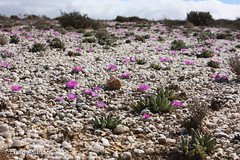 Habitat overview, Argyroderma (Etwin1) Tags: argyroderma knersvlakte vanrhynsdorp argyrodermadelaetii