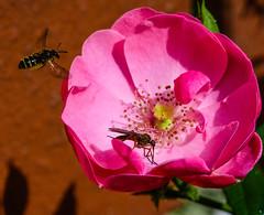G71_0725-Bearbeitet-Bearbeitet.jpg (FotoMasterMutzel) Tags: deutschland tiere europa orte insekten fliege biene typ rennau fluginsekten