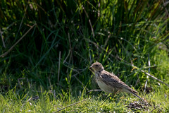 Meadow Pipit (tony143) Tags: birds landscape feeding grassland habitat moorland meadowpipit
