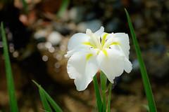 HIKARI 6 : Japanese Iris June (Colorful-wind) Tags: iris light shadow white plant flower color colors japan colorful fujifilm fukuoka lightandshadow japaneseiris 2016 6 kitakyusyu  xt1