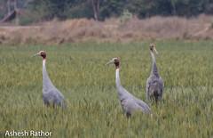 Sarus cranes family (asheshr) Tags: india bird up birds bigbird nikon crane uttarpradesh saruscrane grusantigone beautifulbird birdsofindia largebird sarus incredibleindia beautifulbirds d7200 nikond7200