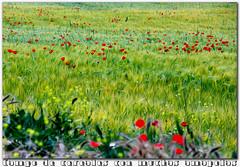 cereales y amapolas (M. Martin Vicente) Tags: cereales amapolas