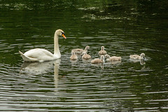 Swan and 7 cygnets (Graham Dash) Tags: birds surrey swans cobham muteswans painshill 2016pad
