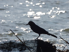 Boat-Tailed Grackle (clydeantique) Tags: birds boattailedgrackle hightide