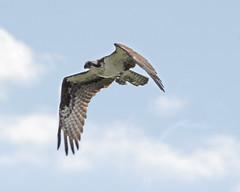 Birds on the Wing (ardeth.carlson) Tags: birds largebirds flyingbirds flight wings nature osprey