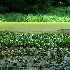 Green, how I want you green. (vertblu) Tags: green water monochrome spring pond waterlily sixwordstory vert waterlilies greens layers grn springtime duckweed shadesofgreen layered pondlife hellgrn pondscene 500x500 waterlilyleaves pondside bythepond waterlilypads simplenature vertblu