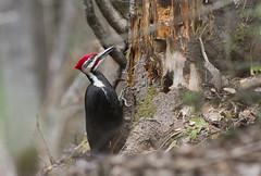 Pileated Woodpecker - male (Natimages) Tags: food tree woodpecker birding deadtree treetrunk pileatedwoodpecker largebird treeclingingbird da3004 pentaxk3