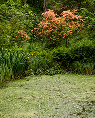 Moorlands pond & azalea (alh1) Tags: york england pond woods naturereserve azalea northyorkshire yorkshirewildlifetrust