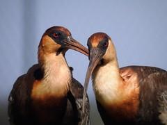 CURICACA (sileneandrade10) Tags: curicaca sileneandrade pssaro aves avesdobrasil animal ibis cerrado nature natureza