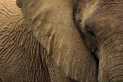 #PicOfTheDay Elephant skin (Candidman) Tags: brown elephant eye animals skin ears trunk wrinkles