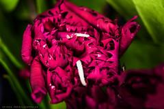 small carnation close up (Spiros Pap) Tags: flower macro nature closeup carnation kenko extensiontubes nikond7200 nikon1855mmvrii