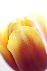 Red-and-yellow tulips A3 (JP Korpi-Vartiainen) Tags: red flower macro home kitchen yellow closeup backlight finland march spring delight tulip bunch february charming finnish makro cosy kuopio koti keitti maaliskuu punainen kevt kukka kukkakimppu vastavalo suomalainen lhikuva keltainen helmikuu iloinen tulppaani lmmin vriks pohjoissavo jpko viehttv kevinen punakeltainen kodikas