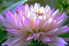 Mexican beauty / Belleza de Mexico (suominensde) Tags: pink dahlia plant flower macro planta beauty mexicana nikon purple bright bokeh outdoor flor rosa depthoffield serene belleza brillante prpura sereno d5300