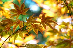 Maple leaves (JPShen) Tags: maple leaves leaf bokeh sony