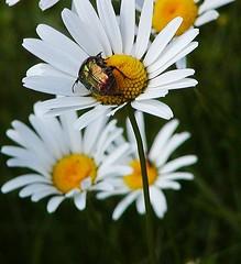 Goldkfer (bratispixl) Tags: germany oberbayern spot tele insekten schrfentiefe margeriten chiemgau lichtwechsel traunreut fokussierung gartenwiese stadtrundweg bratispixl