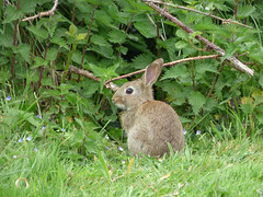 I think he spotted me (Lexie's Mum) Tags: dog rabbit bunny nature walking countryside lester wak weddington