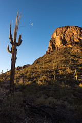The Ghost of Desert Past (courtney_meier) Tags: arizona cactus moon sunrise dawn desert saguaro picachopeak sonorandesert alpenglow halfmoon picachopeakstatepark carnegieagigantea