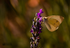 Sol de Verano. Mariposa (marcus turkill) Tags: summer macro butterfly garden nikon jardin verano mariposa macrophotography profundidaddecampo macrofotografia nikond3300
