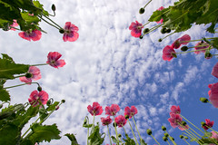 poppy (Jules Marco) Tags: sky plant nature field clouds canon austria sterreich natur pflanze feld himmel wolken poppy mohn sigma1020mmf35exdchsm eos600d