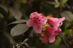 Rhododendron glaucophyllum Rehder (1) (siddarth.machado) Tags: rhododendron northsikkim himalayanflora 3000msl