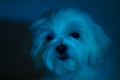 15859 - Blue Kira (Diego Rosato) Tags: kira cani animali dogs pets luci lights blue blu nikon d700 85mm gimp kenko teleconverter