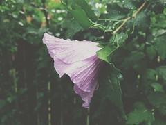 Caught in the Rain! (Jay  Den (Jayarr Denson)) Tags: htc10 roseofsharon flower flowers floral florals nature art