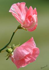 Sweet Pink (Eleanor (No multiple invites please)) Tags: sweetpeas pinkflowers canonspark stanmore uk nikond7100 august2016